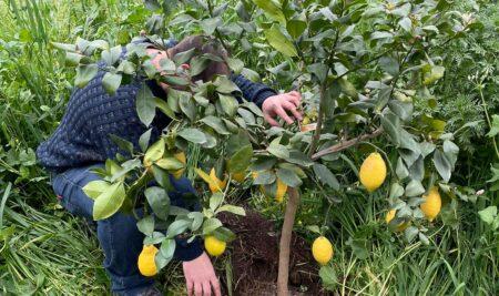 Un albero di limoni dedicato a Pio La Torre